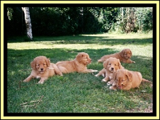 Puppies Nova Scotia Duck Tolling Retriever.